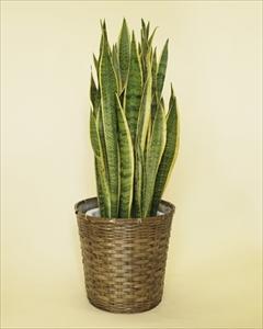 マイナスイオンを発散するとして、とても人気のあるサンセベリア。観葉植物の中でも丈夫な種類の植物です!! サンセベリア【10号鉢】バスケット付(代引き不可)【送料無料】