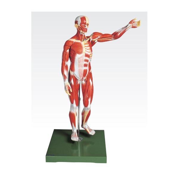 人体解剖模型 【男性/27分解】 塩化ビニール製 台付き J-111-2【代引不可】