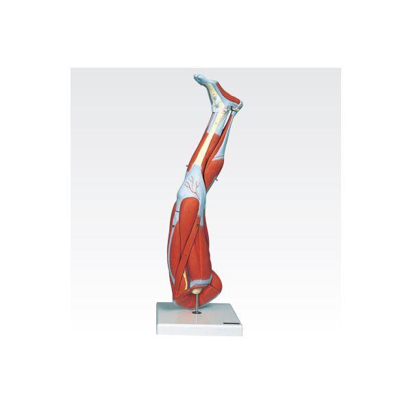 新型・下肢模型/人体解剖模型 【9分解】 J-114-7【代引不可】