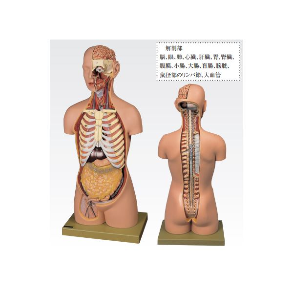 トルソ人体モデル/人体解剖模型 【20分解】 主要臓器とりはずし可 J-113-1【代引不可】