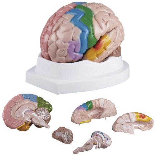 エルラージーマー社 脳5分解モデル C222【送料無料】
