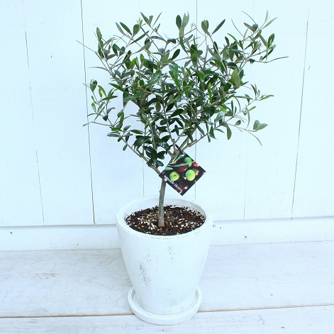 A One Size Tree Comes Up To Por Olive White Present
