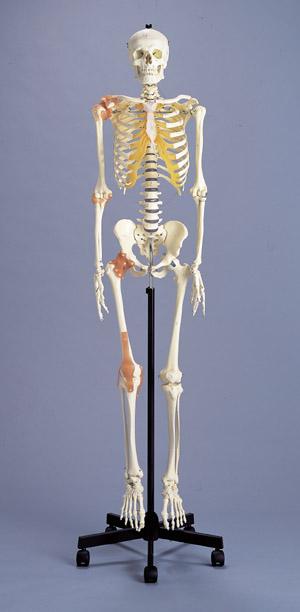 可動靱帯付骨格模型