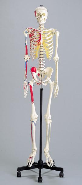 《坂本モデル》彩色付成人骨格模型