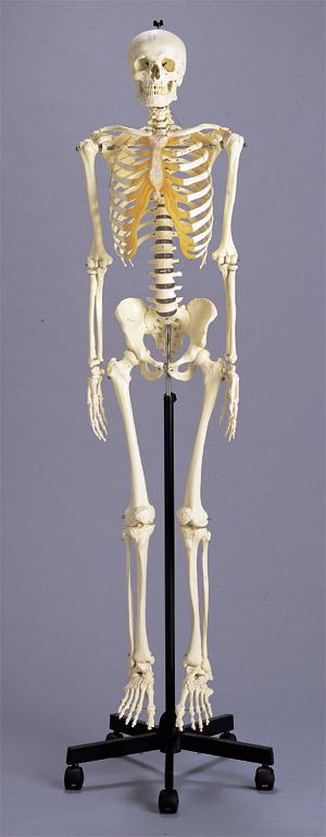 新型・骨格模型