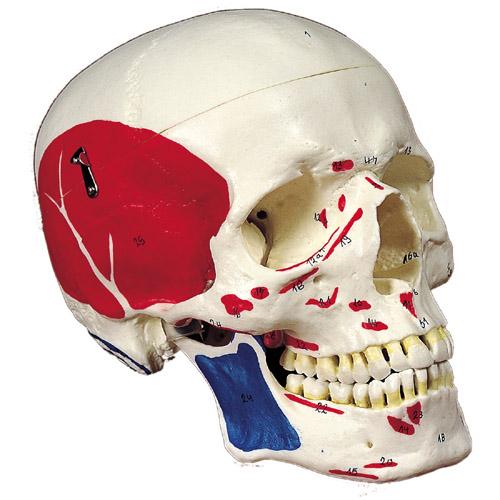彩色付頭蓋骨模型 3分解