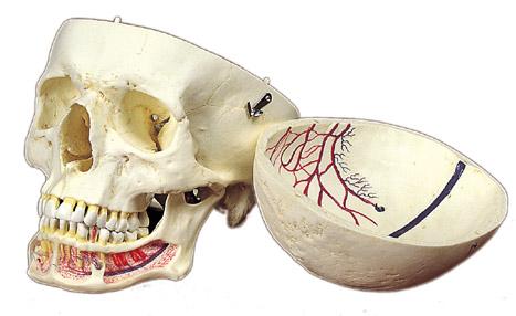 血管明示頭蓋骨模型