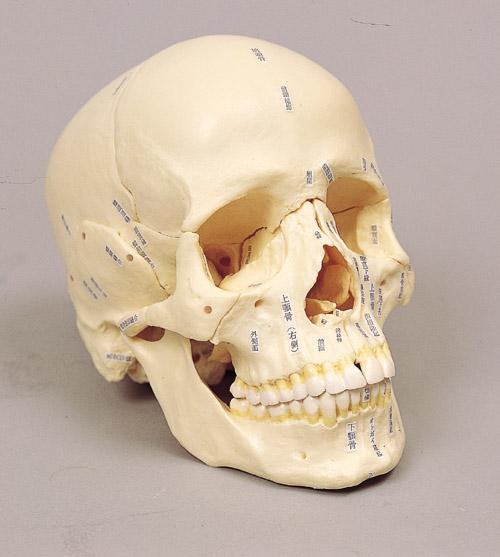 《坂本モデル》頭骨分解模型 14分解