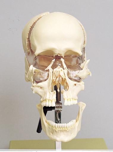 頭蓋骨分解模型 22分解