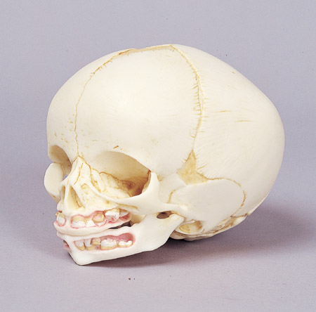 胎児頭骨 実物大