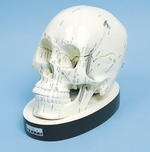 頭蓋骨分解模型 10分解