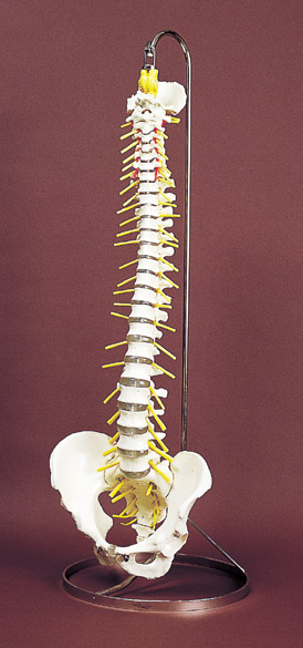 神経付脊柱屈伸模型