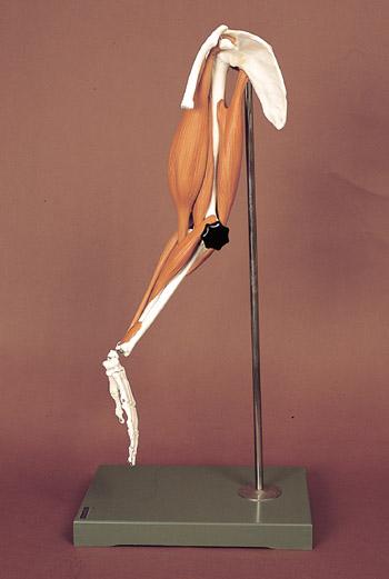 可動筋肉付腕模型