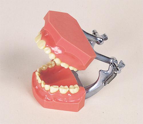 乳歯交換全顎模型