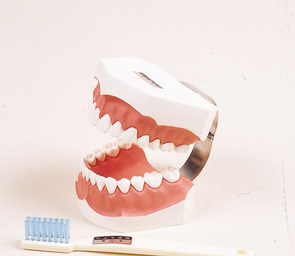 歯磨指導顎模型