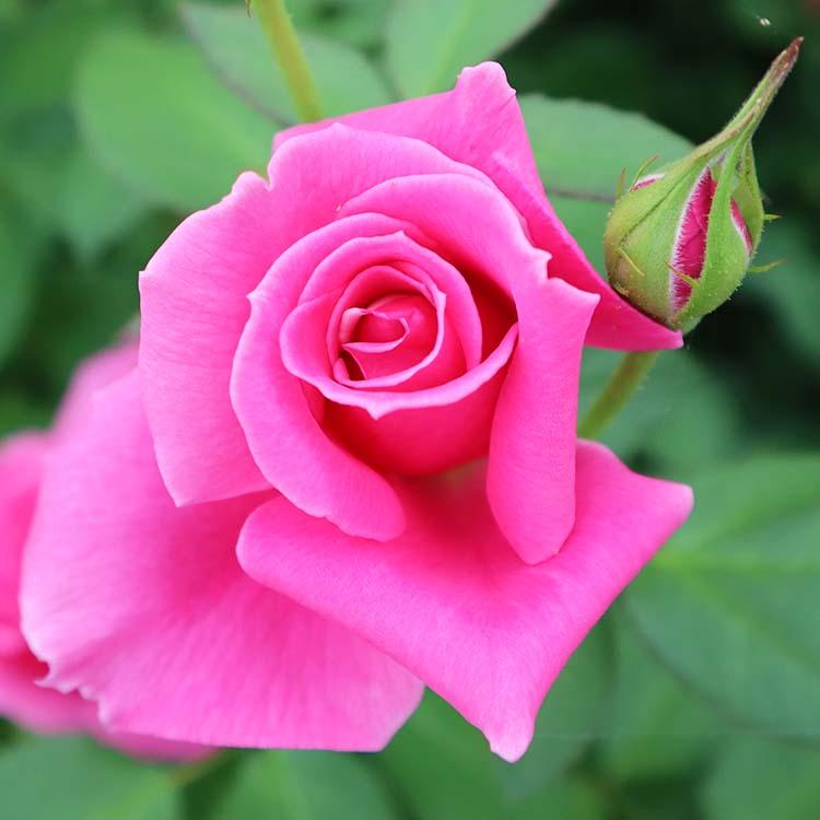 バラ苗 【ハーモニクス】 大苗7号専用角鉢入 ピンク系 Rose for You【発売記念特典】ぼかし肥料1kg付き