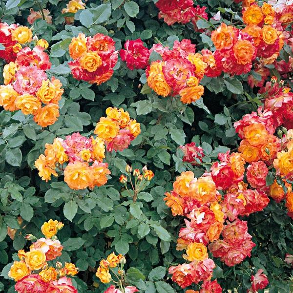バラ苗 ふれ太鼓 国産新苗植え替え6号スリット鉢 つるバラ 《週末限定タイムセール》 複色系 日本限定 CL 四季咲き