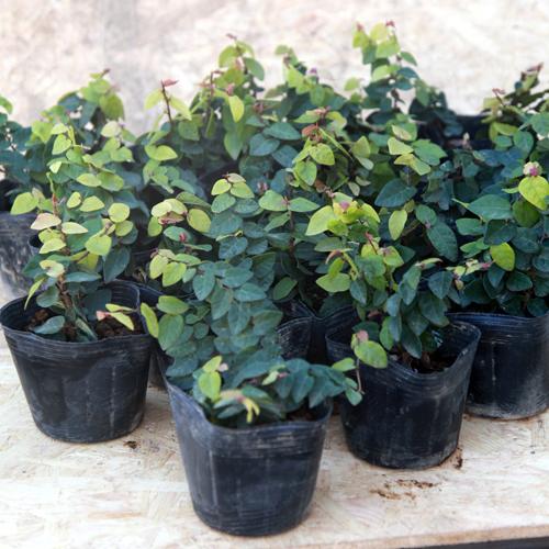 常緑 苗 グランドカバー 観葉植物 24ポットセット プミラ オオイタビ クリアランスsale!期間限定! 海外並行輸入正規品