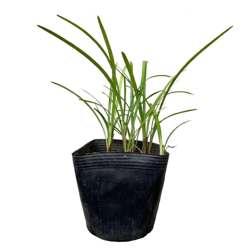 コヤブラン 20ポットセット 常緑 多年草 日向 日陰 グランドカバー 下草