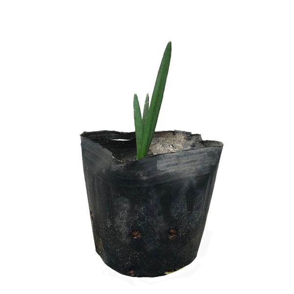 スノーフレーク 24ポットセット 多年草 球根 花壇 鈴蘭水仙
