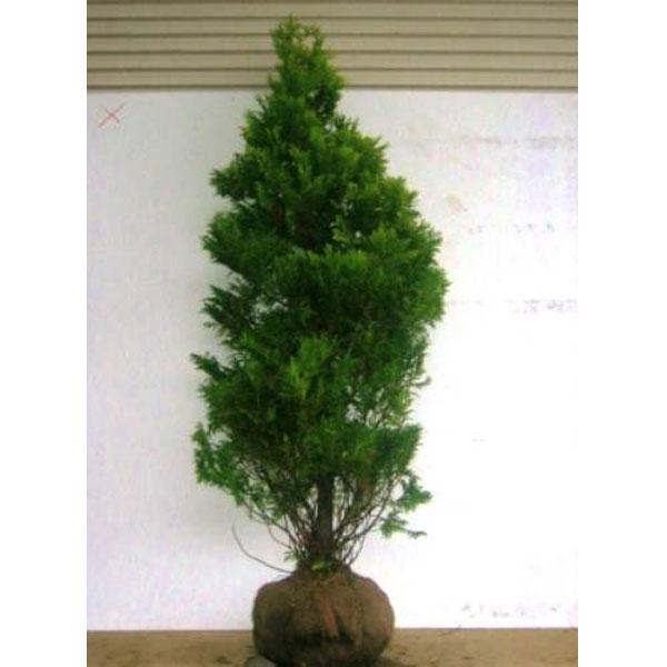 ニオイヒバ サンキスト樹高1.8~2.0m前後 (根鉢含まず) 常緑 コニファー