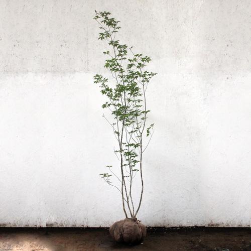 アオダモ 株立ち 樹高1.8~2.0m前後 (根鉢含まず)