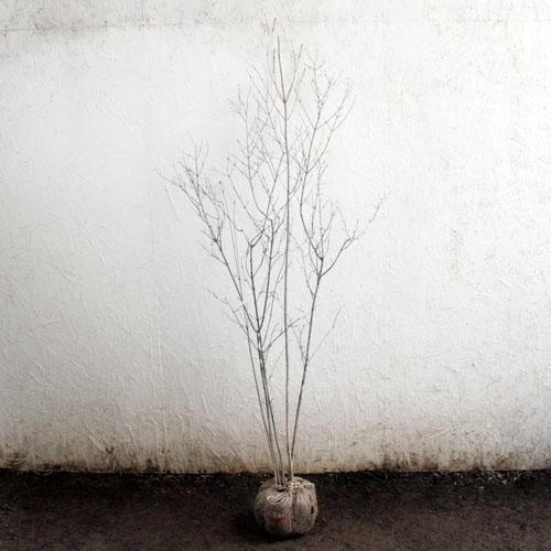 オトコヨウゾメ 株立ち 樹高1.8~2.0m前後 (根鉢含まず)