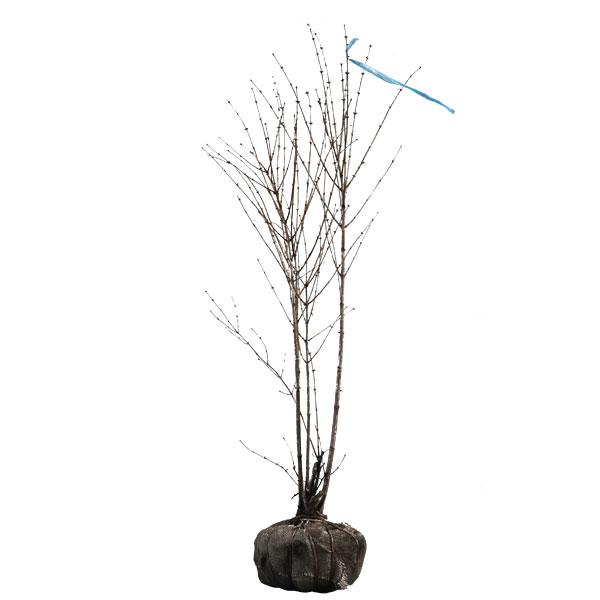 ウグイスカグラ 株立ち 樹高1.0~1.2m前後 (根鉢含まず)