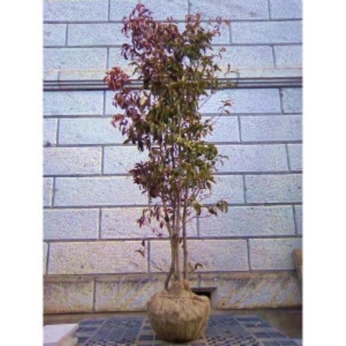 常緑ヤマボウシ ホンコンエンシス 「月光」 株立ち 樹高1.8~2.0m前後 (根鉢含まず)