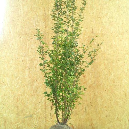 シャラノキ 株立ち 樹高1.8~2.0m前後 (根鉢含まず)