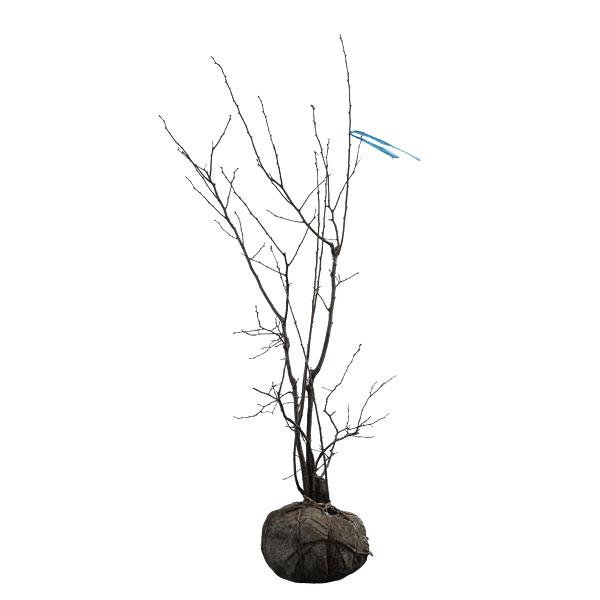 海外ブランド  ナツハゼ 株立ち (根鉢含まず) 樹高1.0~1.2m前後 株立ち ナツハゼ (根鉢含まず), DIY.ガーデン通販エクステリア関東:cce4ddd7 --- business.personalco5.dominiotemporario.com