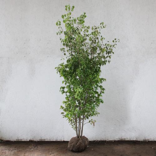 ヤマボウシ 株立ち 樹高1.8~2.0m前後 (根鉢含まず)