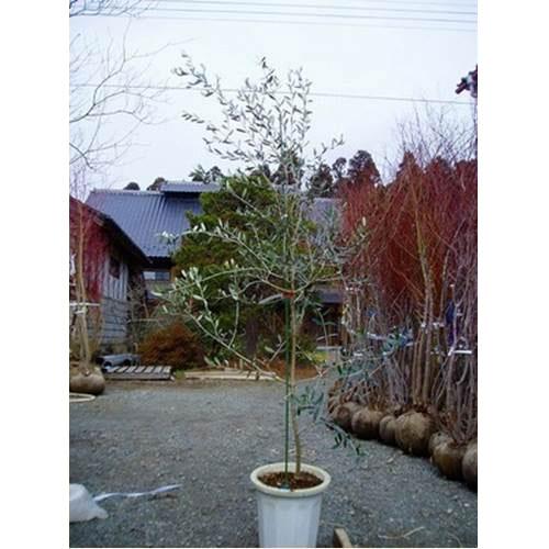 オリーブ (品種指定不可) 樹高1.8~2.0m前後 (根鉢含まず)