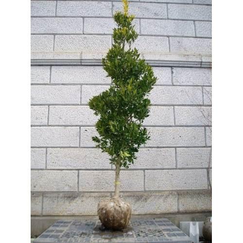 オウゴンモチノキ 樹高1.8~2.0m前後 (根鉢含まず)