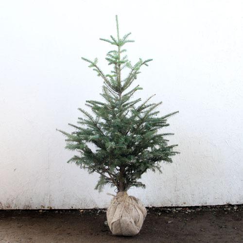 もみの木 (ウラジロモミ) 樹高1.8m前後 (根鉢含まず) クリスマスツリー 常緑 庭木