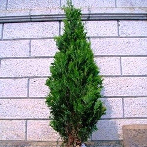 カマクラヒバ樹高3.0m前後(根鉢含まず)