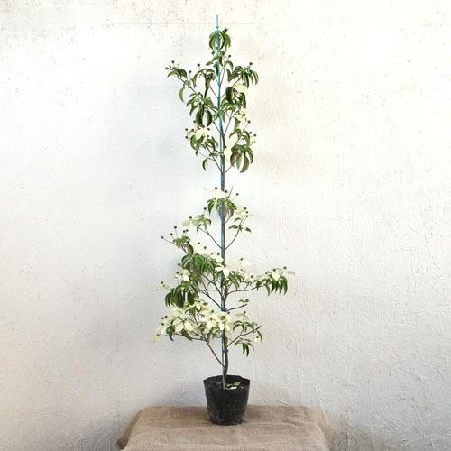 常緑ヤマボウシ ホンコンエンシス 「月光」 単木 樹高1.2m前後