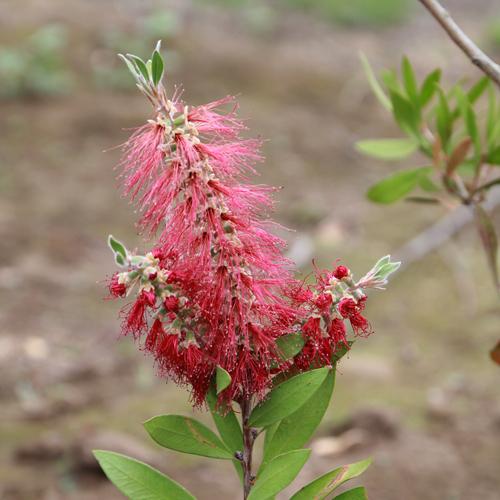 ブラシノキ 単木 樹高1.5m前後(根鉢含まず) 単品