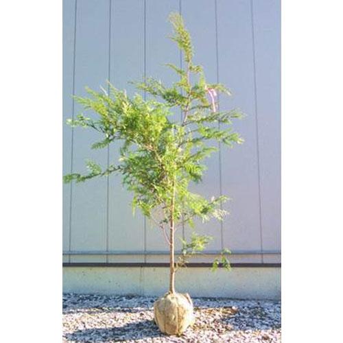 ヒノキ 単木 樹高2.5m前後 売れ筋ランキング 根鉢含まず おトク