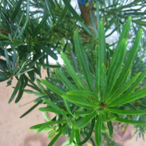 ラカンマキ 樹高1.8~2.0m前後 (根鉢含まず)