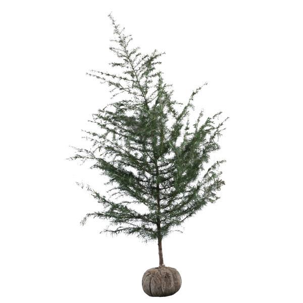 ヒマラヤスギ 樹高1.8~2.0m前後 (根鉢含まず)