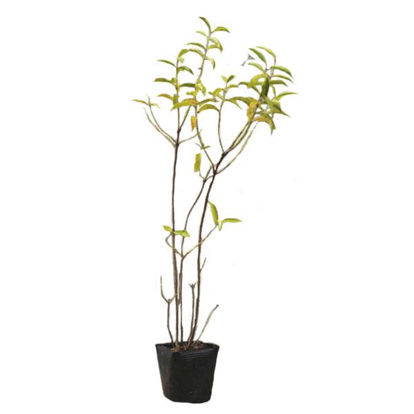 シロシキブ 樹高30~50cm前後 10ポットセット