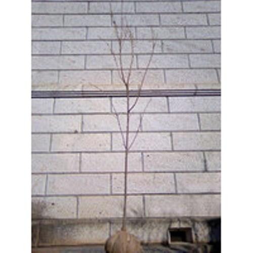 サクラ 松月 (ショウゲツ) 樹高1.8~2.0m前後 (根鉢含まず)