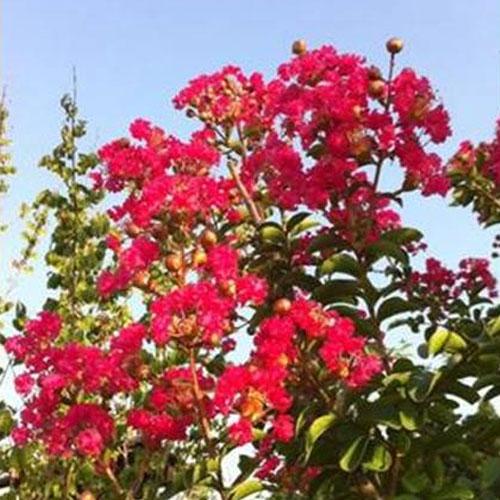 サルスベリ カントリーレッド 樹高2.5m前後(根鉢含まず) 単品