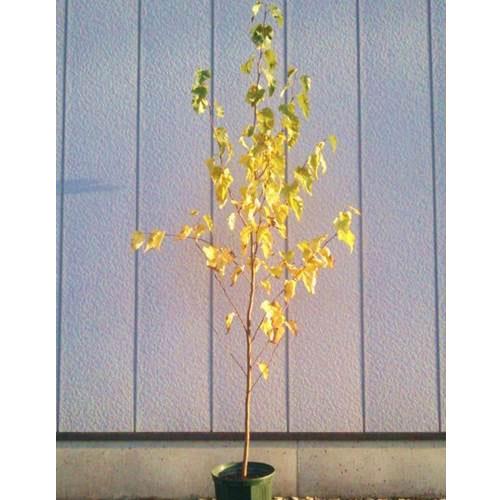 豪華な シラカバ ジャクモンティー 商い 単木 樹高1.8~2.0m前後 根鉢含まず