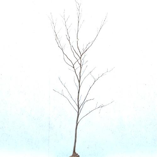 シャラノキ 単木 樹高1.8~2.0m前後(根鉢含まず) 単品