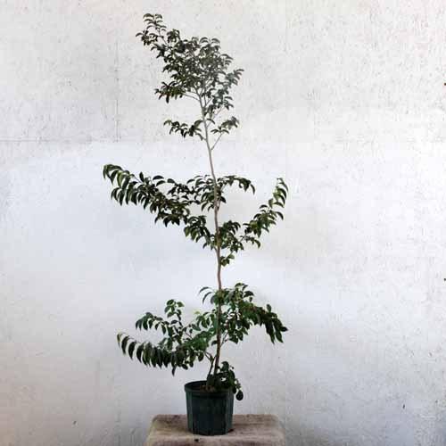 シャラノキ ピンク 単木 樹高1.8~2.0m前後 (根鉢含まず)