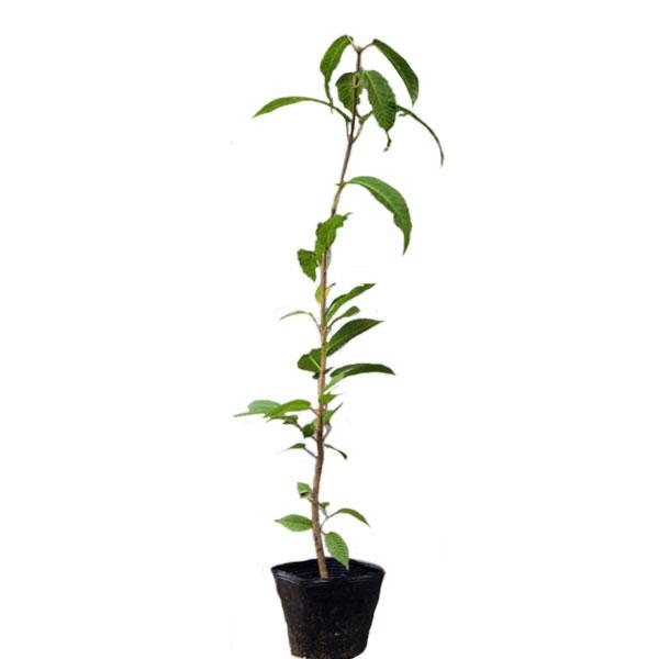 チドリノキ 樹高30~50cm前後 10ポットセット