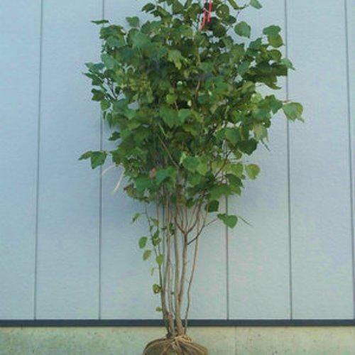 値引き 大決算セール ダンコウバイ 単木 樹高1.5~1.8m前後 根鉢含まず