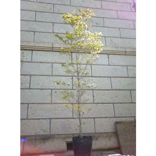 ハナミズキ 白花 単木 樹高1.8~2.0m前後 (根鉢含まず)